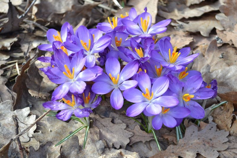 March 2011 - crocuses 2