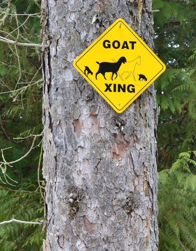 April 2011 - goats 1a
