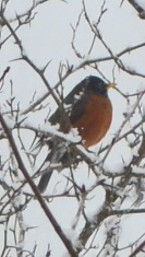 March 2011 - robin in hawthorn 1a