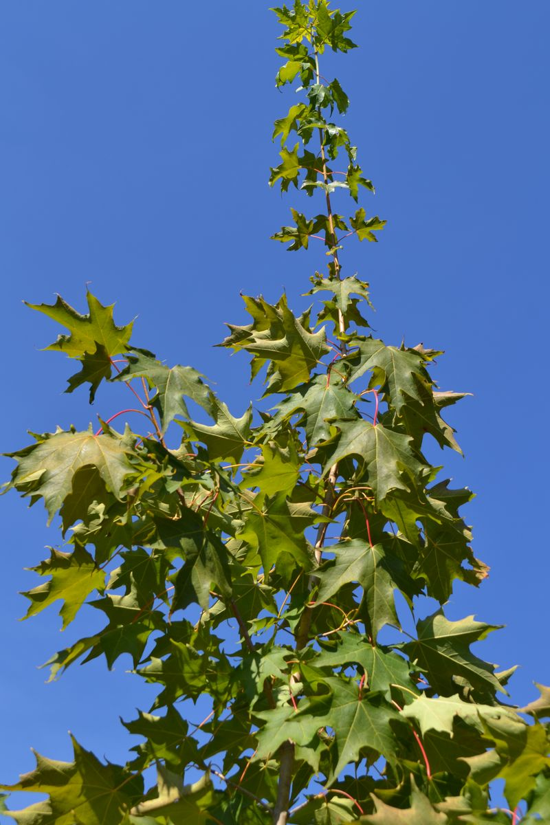 September 2011 - maple tree