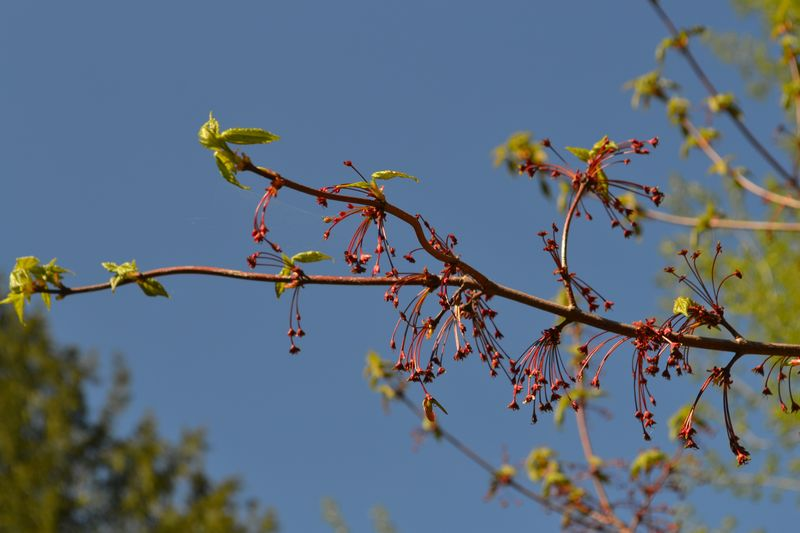 May 13, 2012 - Granny's maple tree