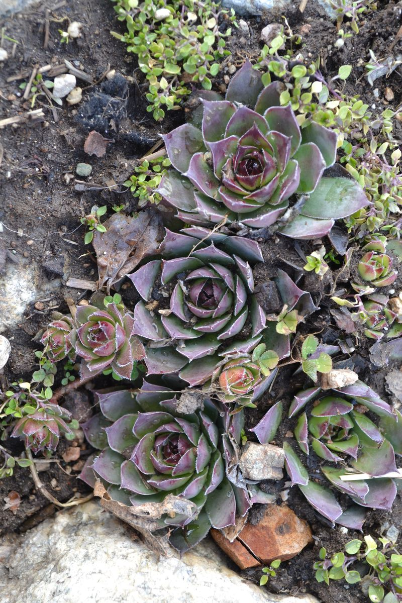 March 19, 2012 - hens and chicks