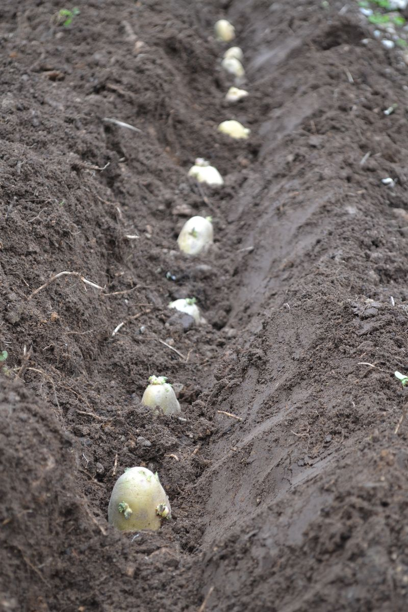 May 4, 2012 - planting potatoes