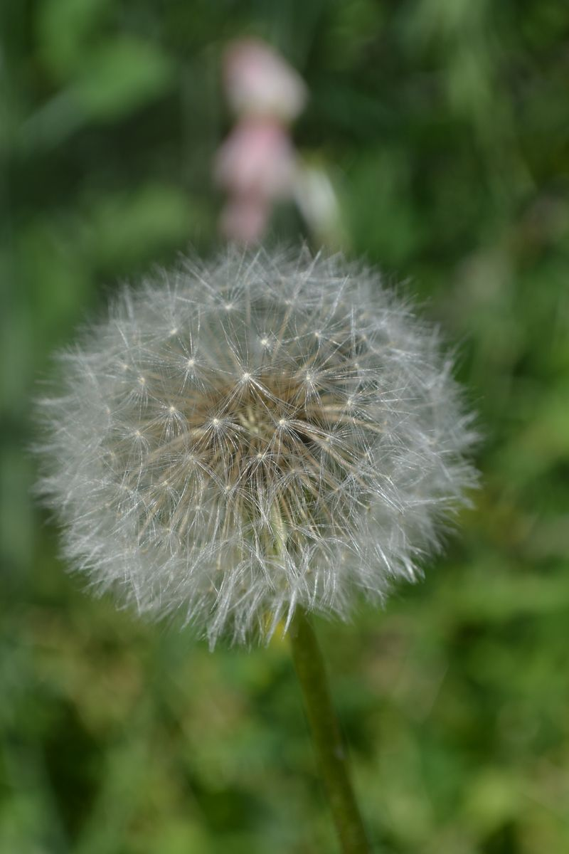 August 12, 2012 - dandelion clock