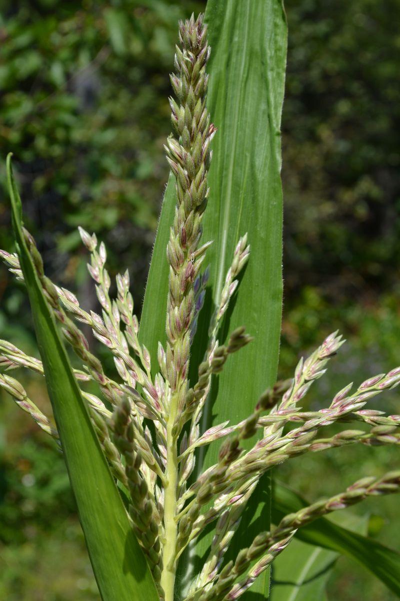 August 19, 2012 - corn 1