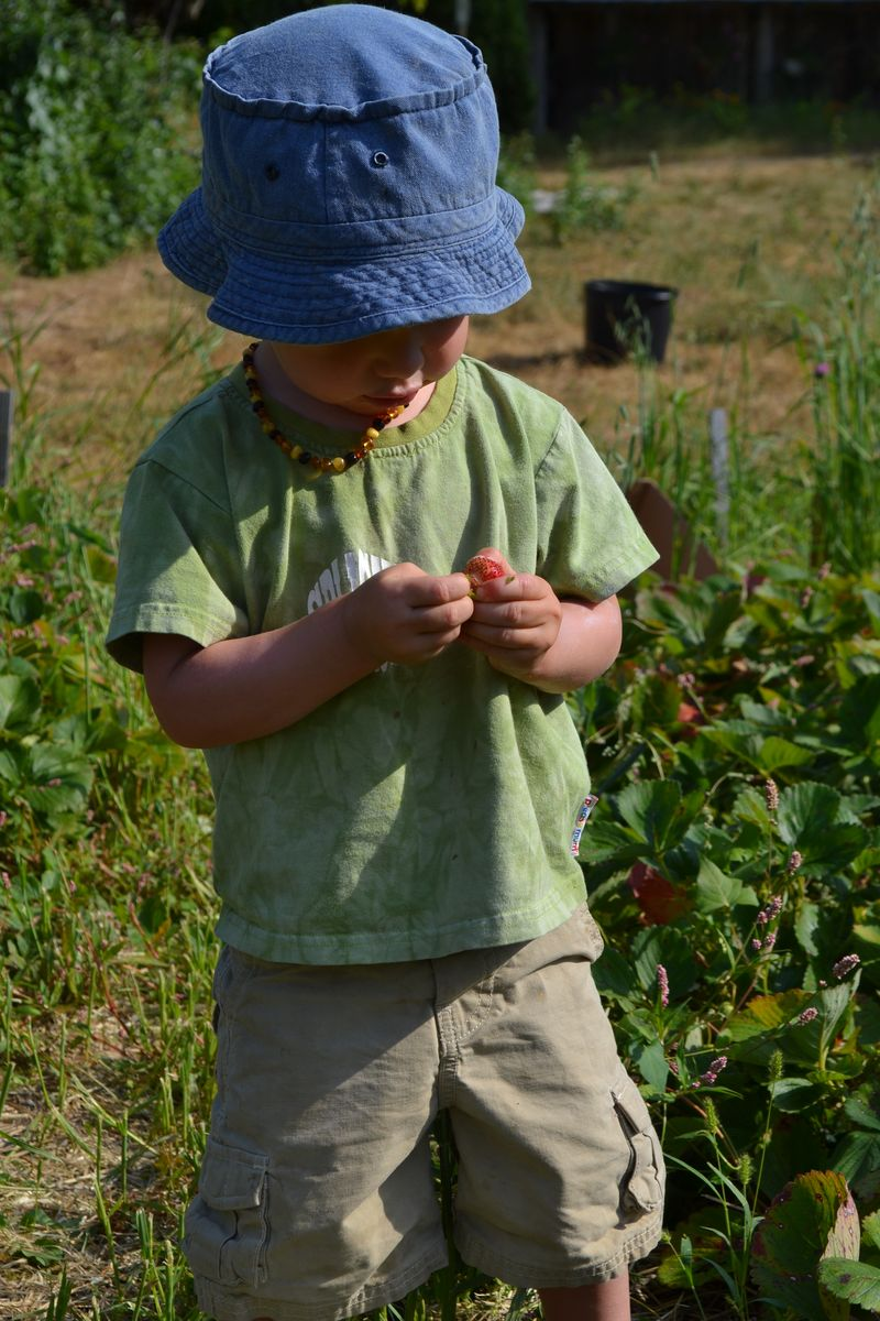August 2012 - strawberry picking 1