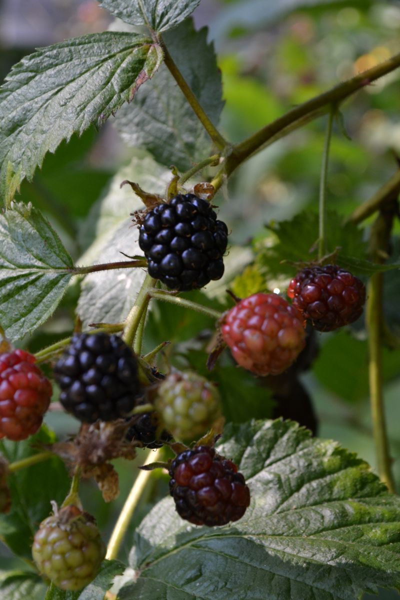 August 19, 2012 - blackberries