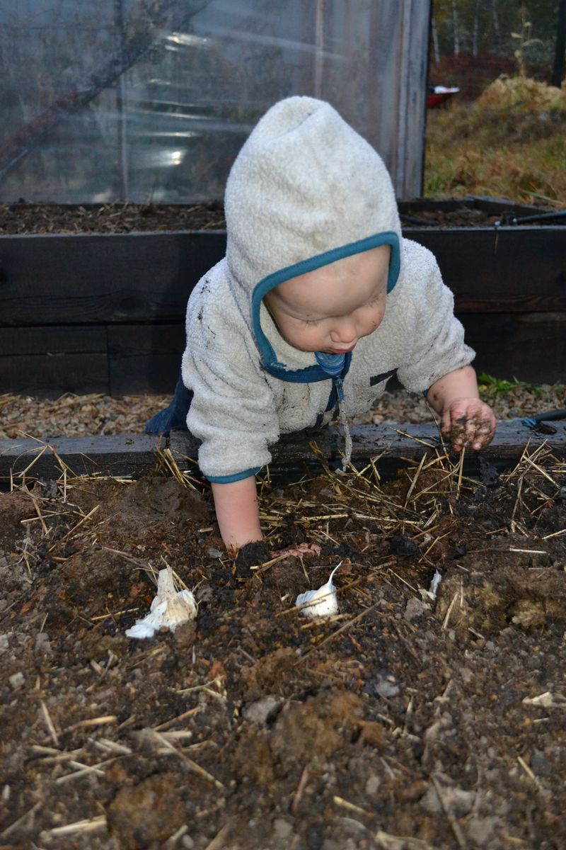 October 2012 - planting garlic 16