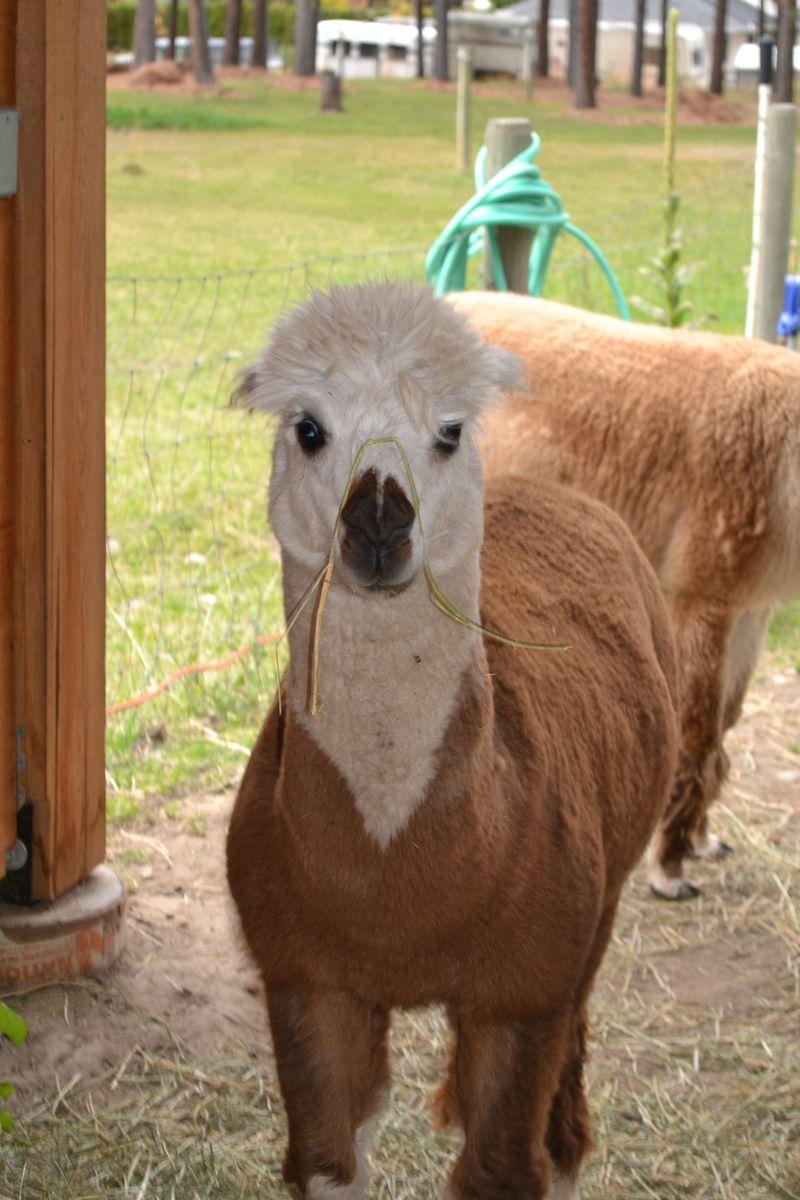 October 2012 - alpaca 3