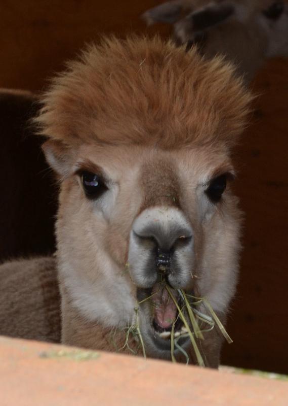 October 2012 - alpaca 2a