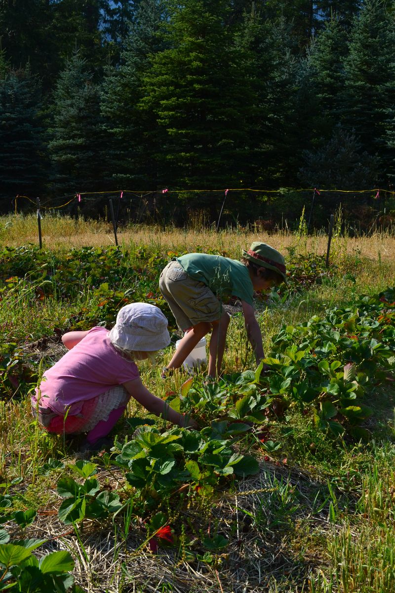 August 2012 - strawberry picking 4