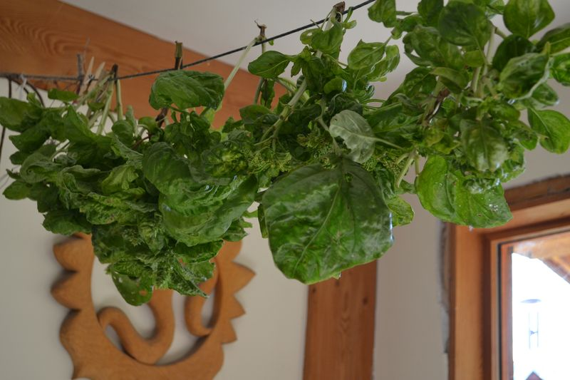 October 2012 - drying basil