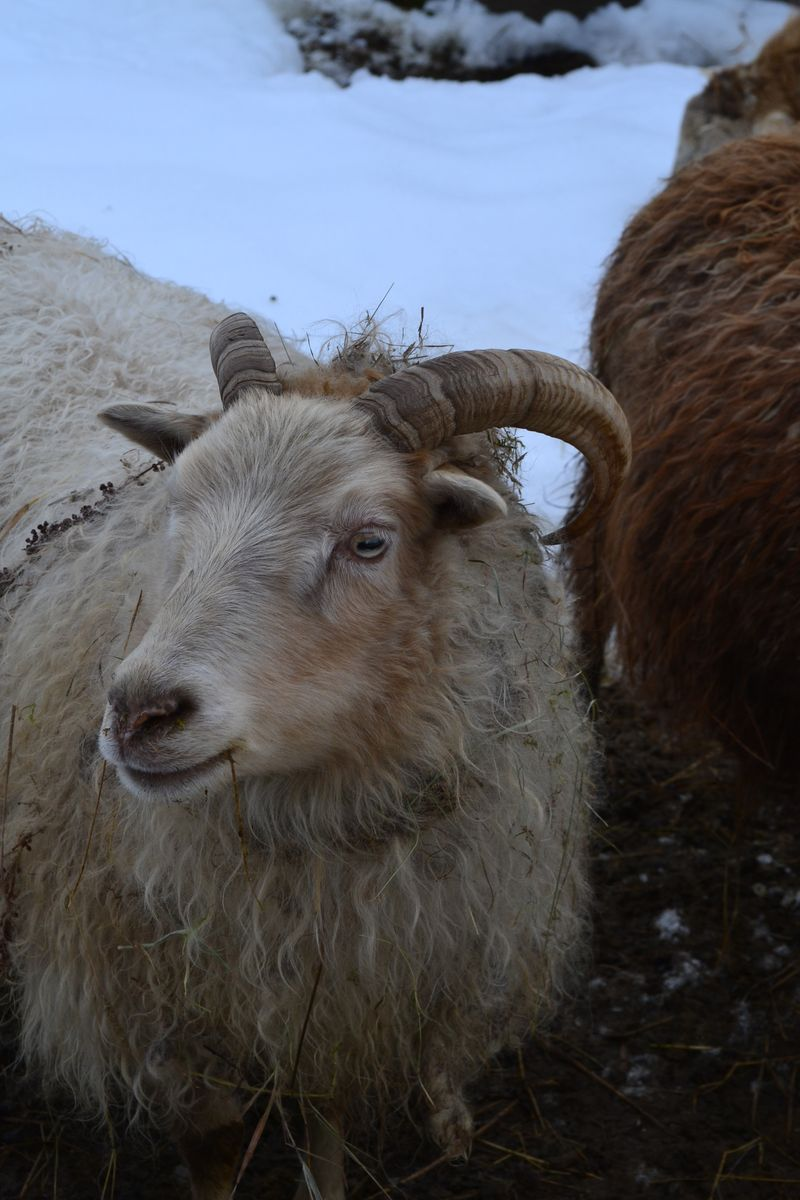 February 2013 - Andre's Icelandic sheep 1