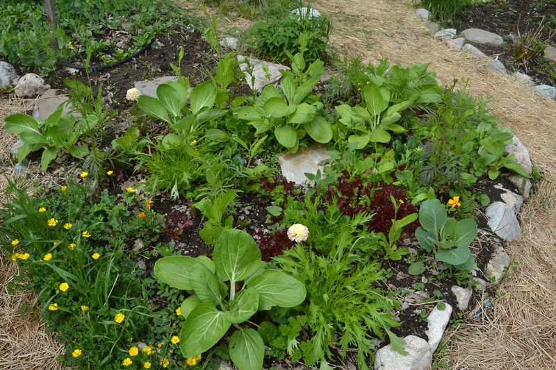 June 2, 2013 - salad bed in kitchen garden