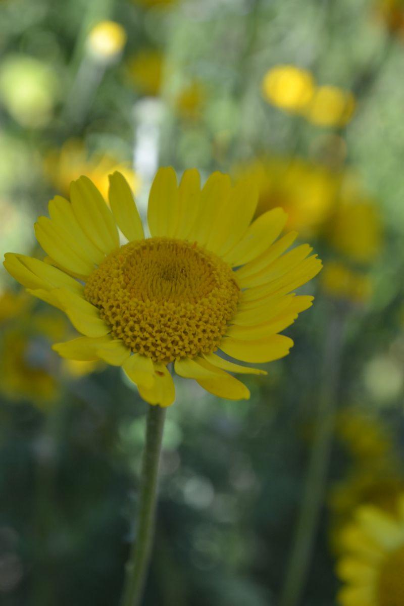 August 21, 2013 - chamomile 3