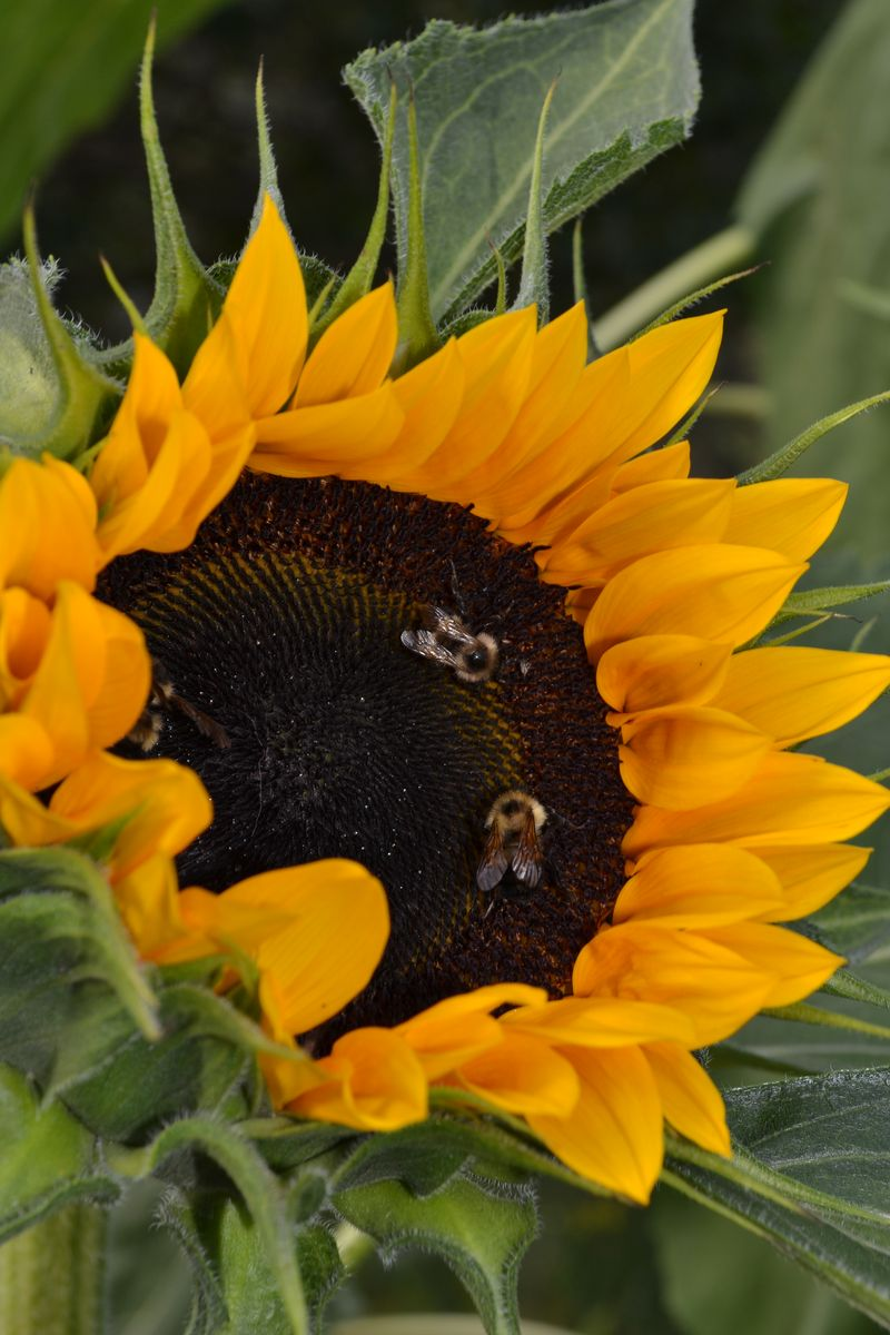 August 27, 2013 - sunflower