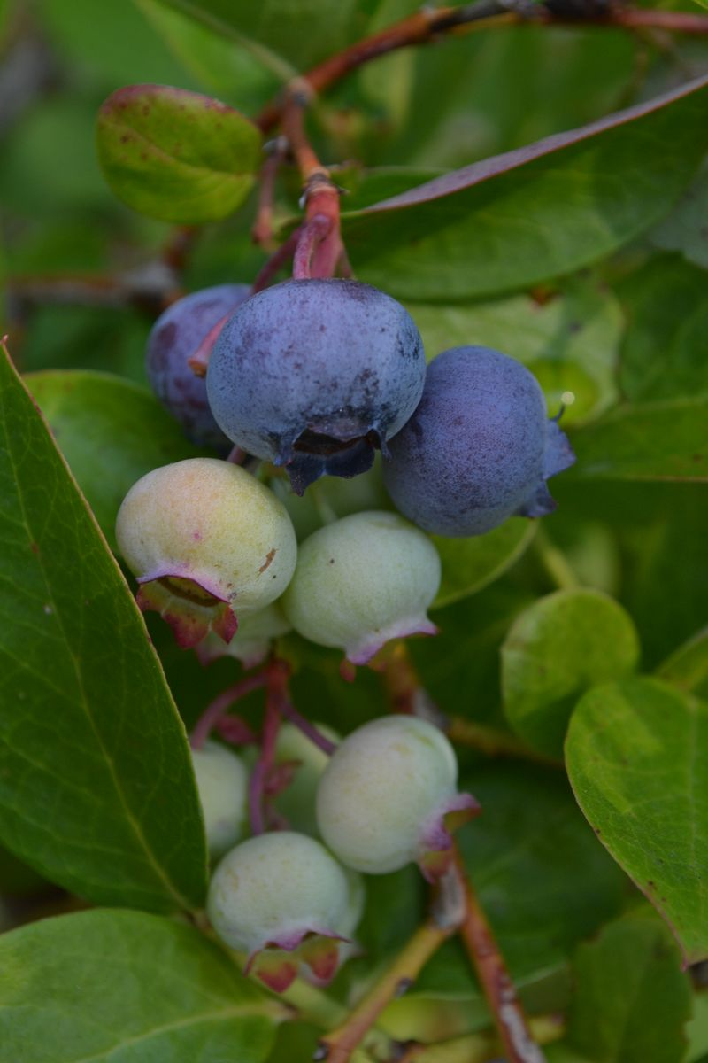 August 7, 2014 - blueberries