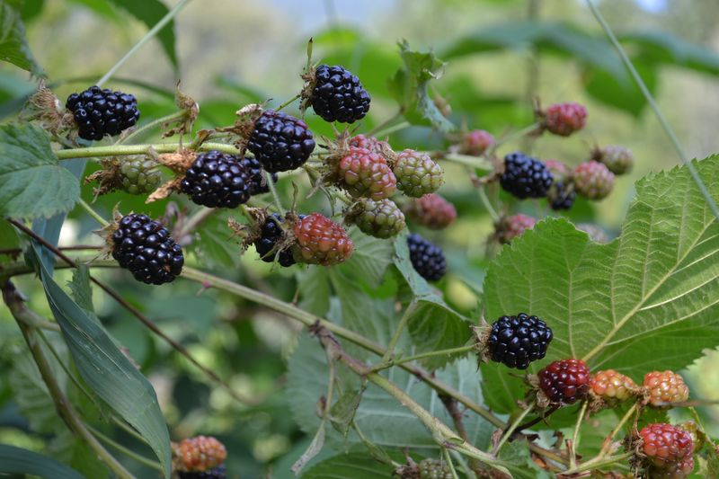 August 7, 2014 - blackberries 1