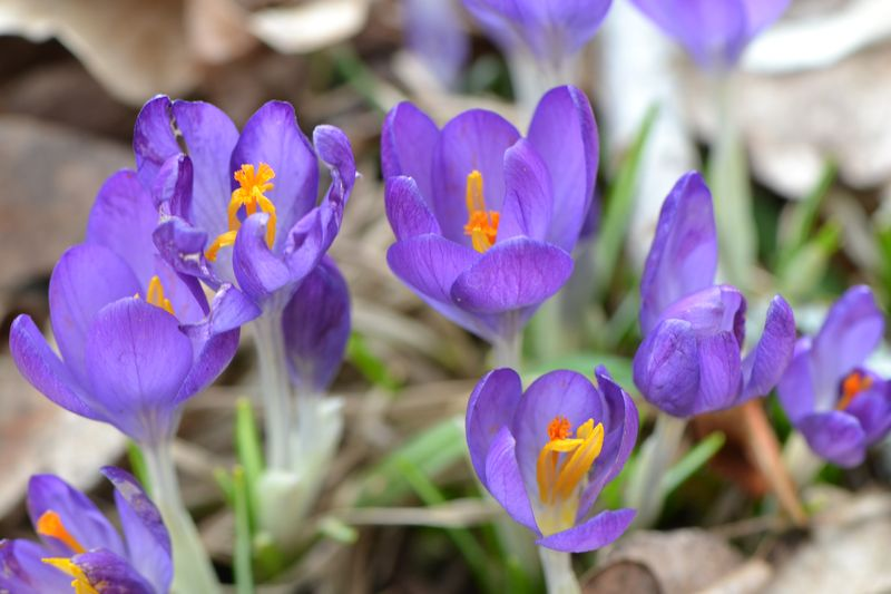 March 2014 - crocus 1