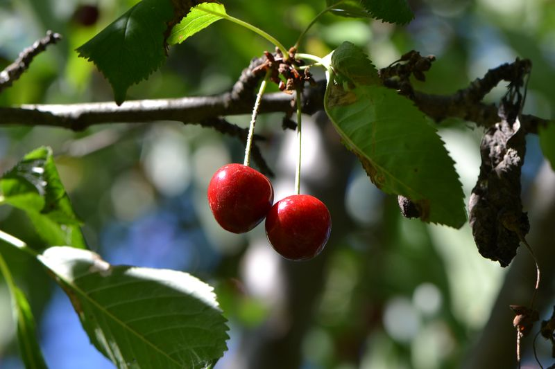 July 9, 2014 - cherries
