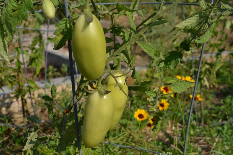 August 7, 2014 - tomatoes and tickseed