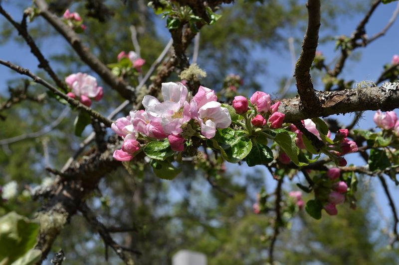 May 2015 - apple blossoms