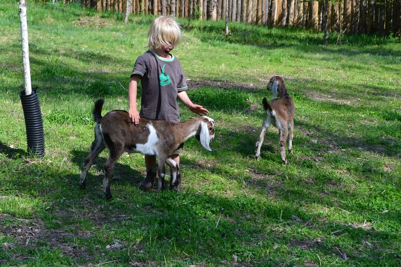 May 2015 - goats are here 2