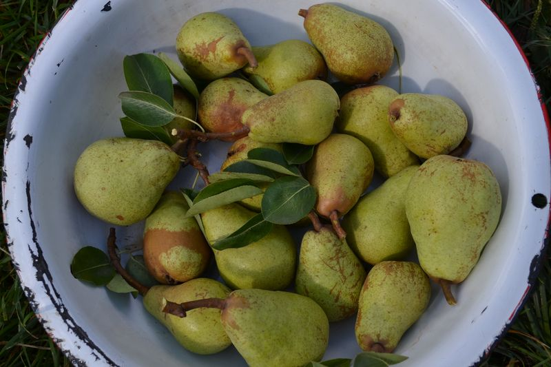 September 2015 - our very first pears