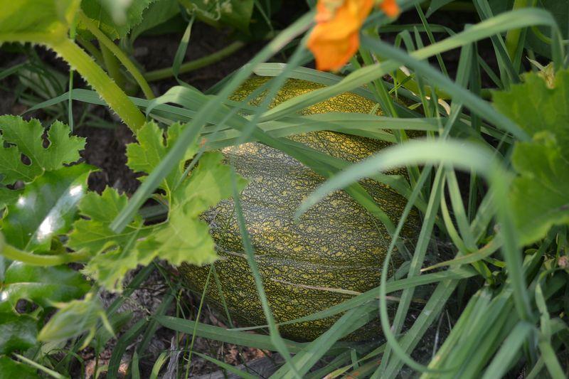 August 13, 2015 - green pumpkin