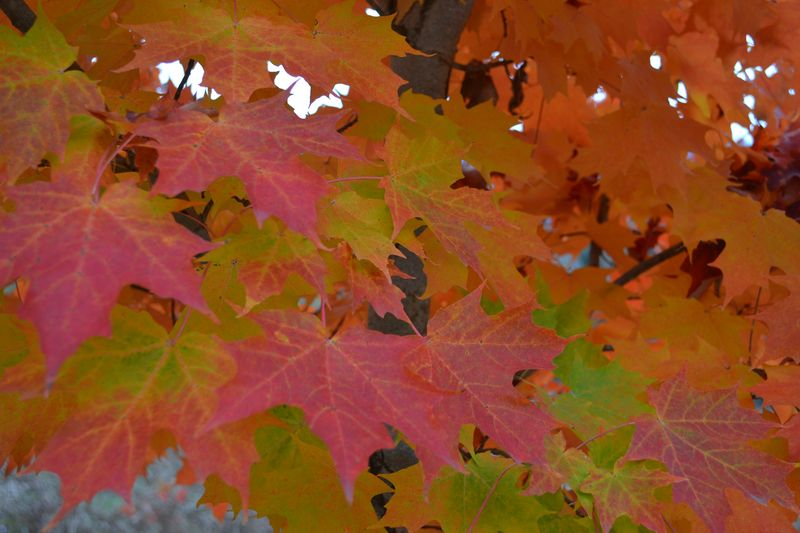 October 15, 2015 - maple leaves
