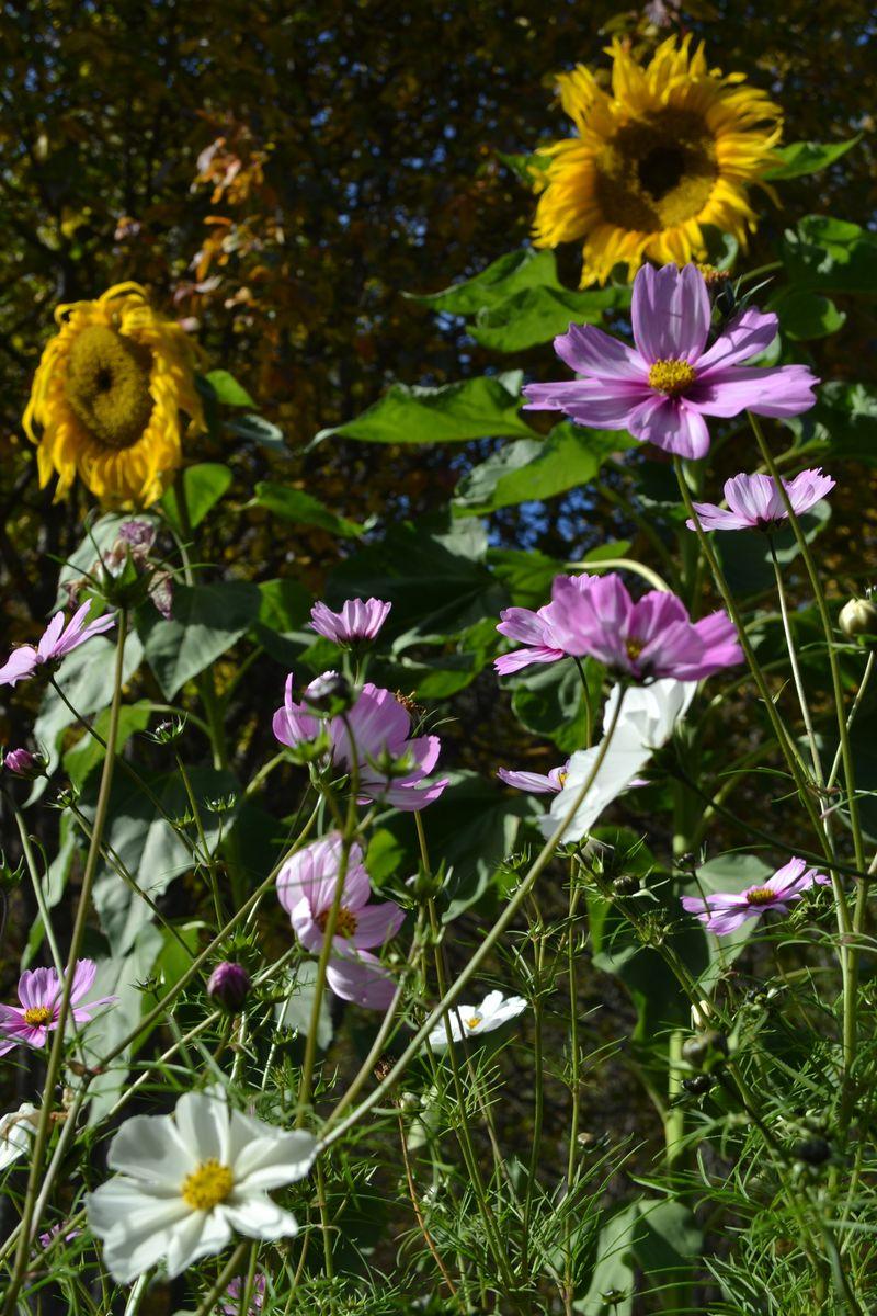 October 2015 - flowers in the kitchen garden