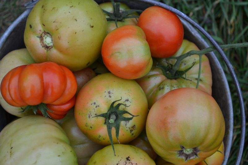 October 15, 2015 - tomatoes every day