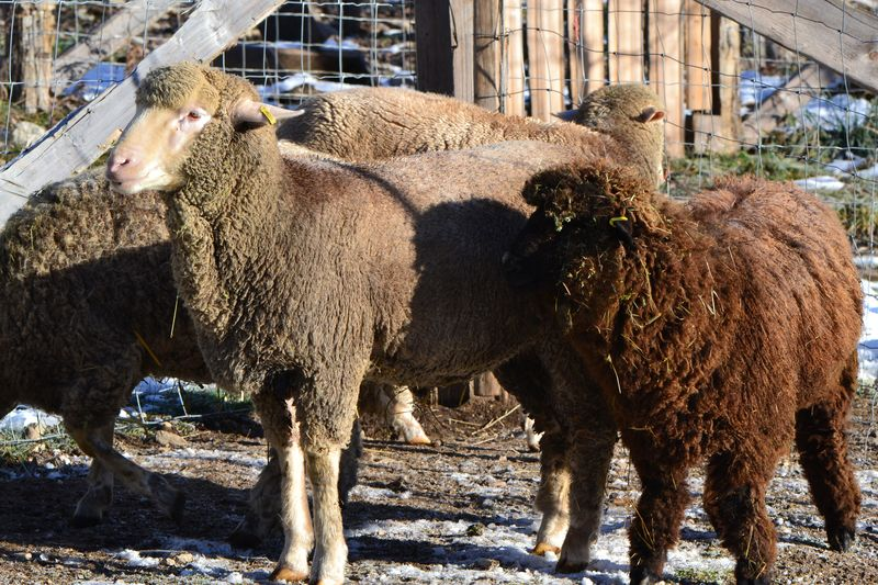November 2015 - breeding sheep 1