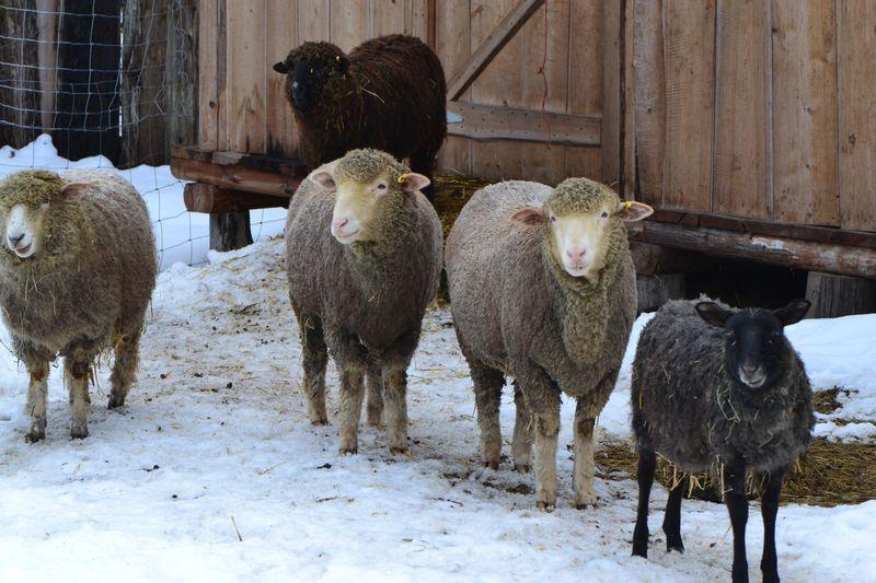 January 2016 - all 5 sheep together