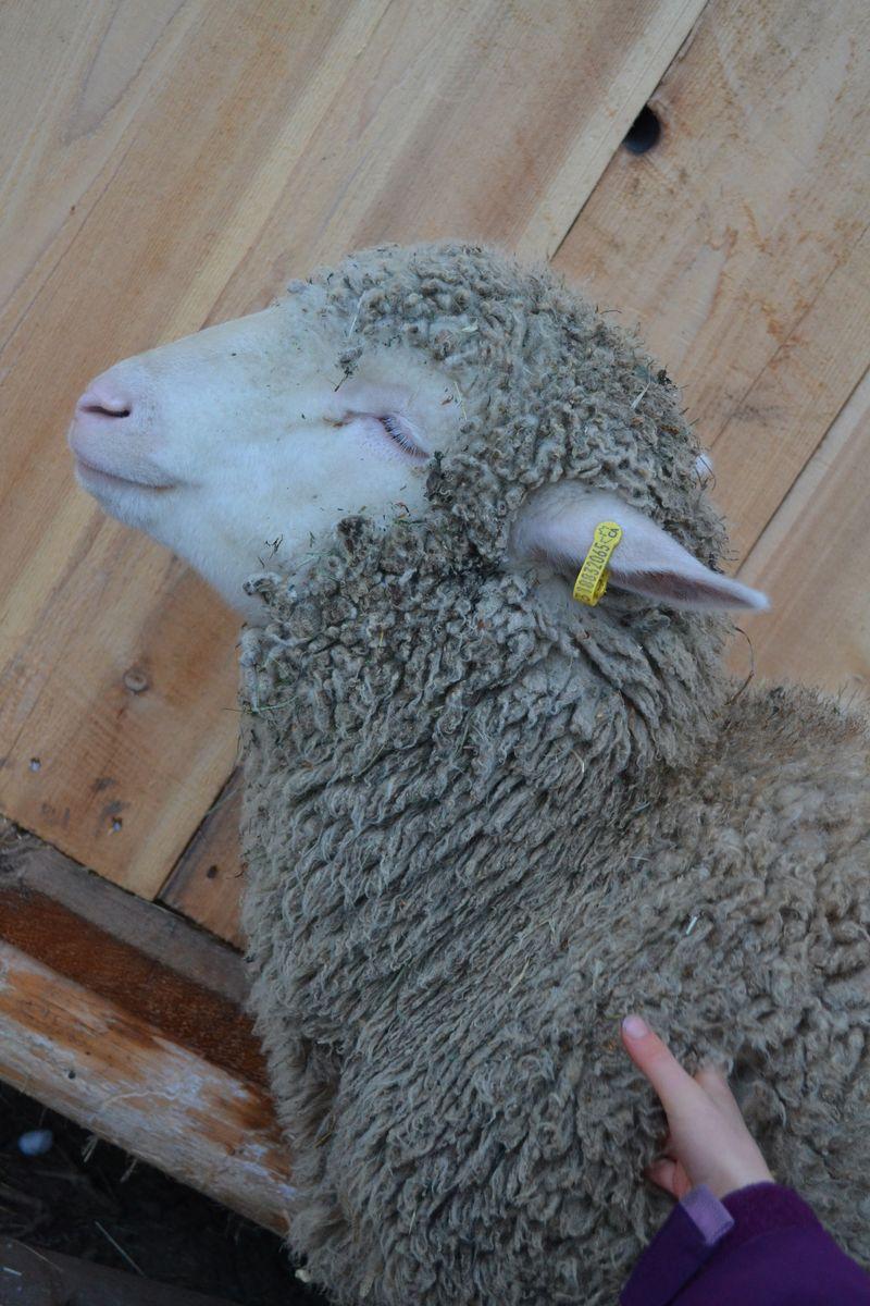 January 2015 - sheep massage 2