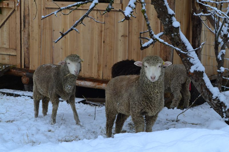 February 2015 - snowfall on sheep