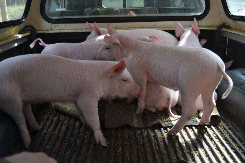 April 2015 - pigs 8 wks 1