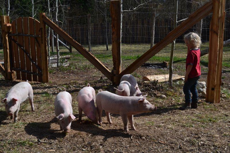 April 2015 - pigs 8 wks 9