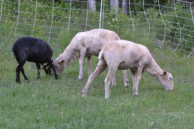 May 2015 - naked sheep 1