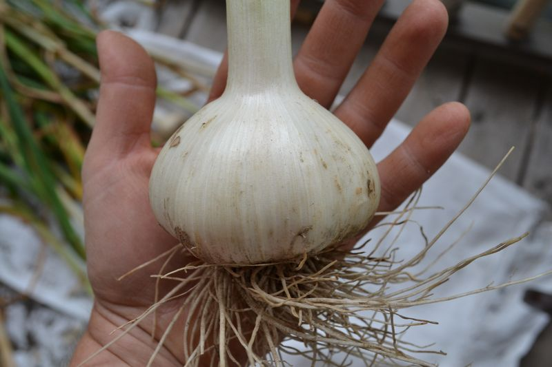 July 2015 - fat garlic