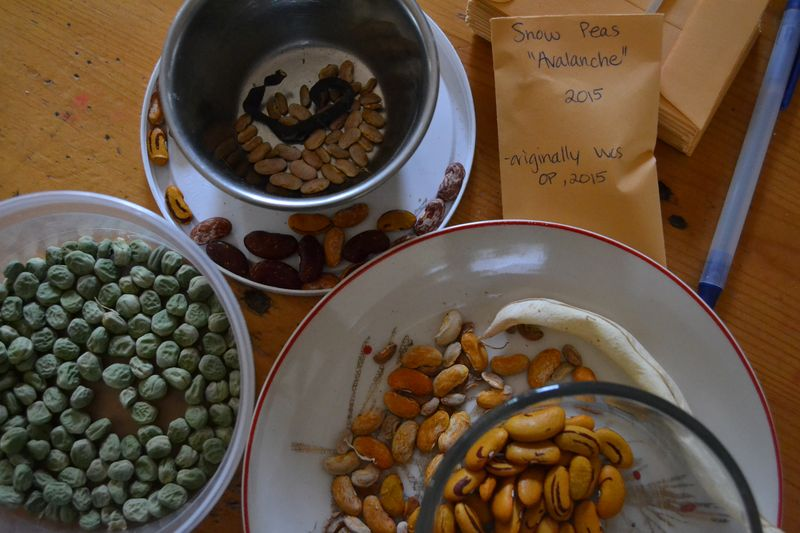 September 2015 - seed saving beans and peas