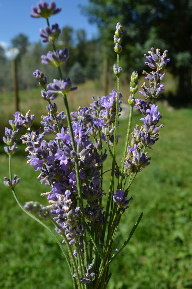 July 2015 - lavender 2