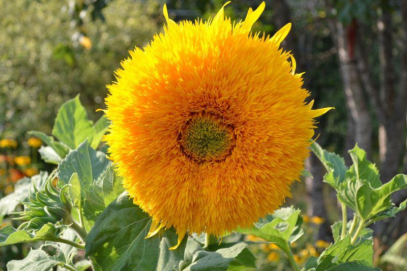 August 13, 2015 - sunflower 2