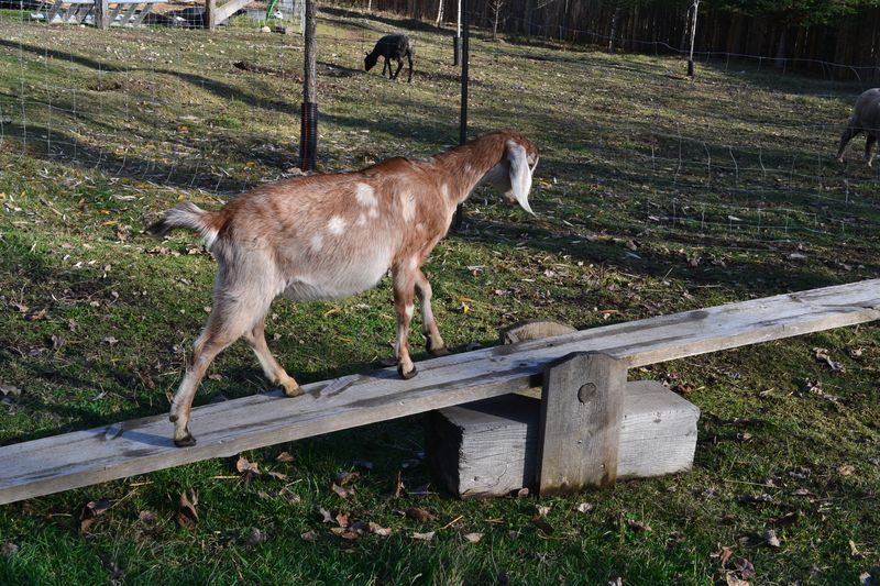 November 2015 - teeter totter for goats 2