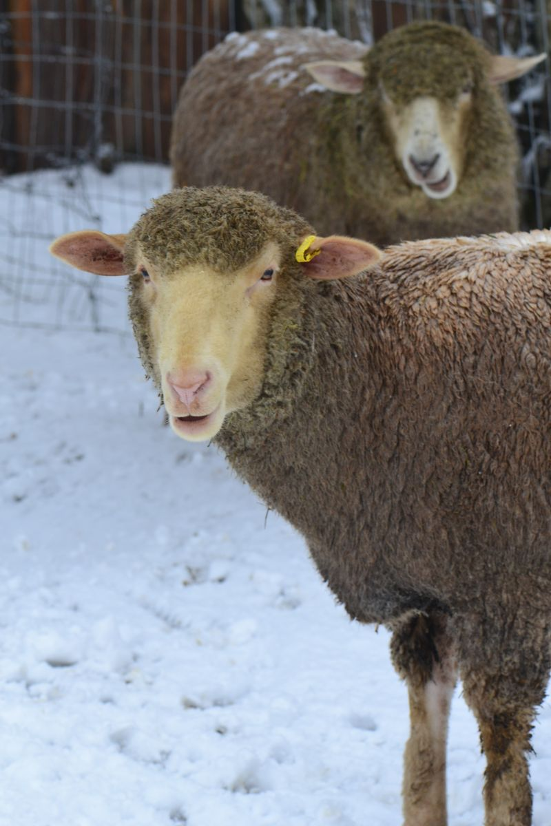 December 2015 - snow sheep 1 - Posey