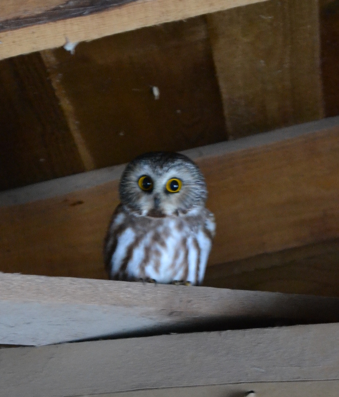 January 2015 - saw-whet owl in the coop-001