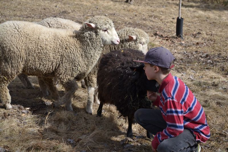 March 2015 - his favourite sheep, Luna 2