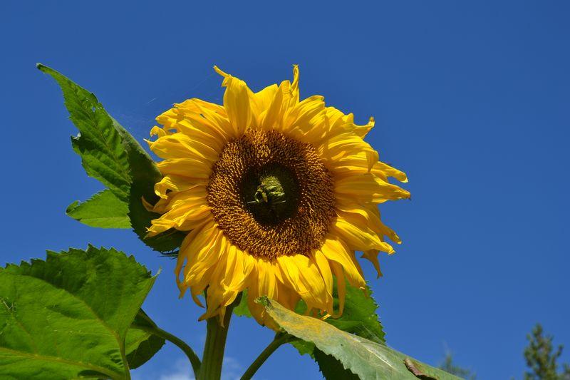 September 2015 - sunflower 1