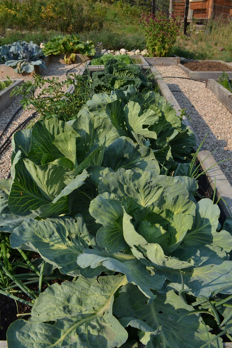 August 13, 2015 - cabbages