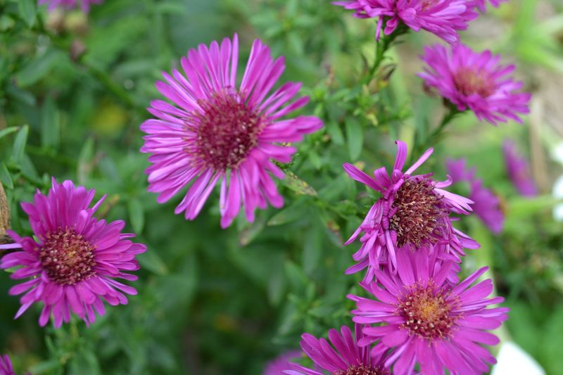 October 15, 2015 - Michaelmas daisies